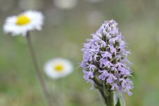 Orchis conica2.jpg