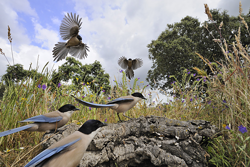 Extremadura, vakantie, vogels, Monfragüe, Nationaal Park, Azure-winged Magpies; highly commended in BBC Wildlife Competition of the year 2009